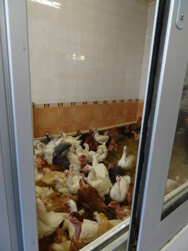 csirkenevelde